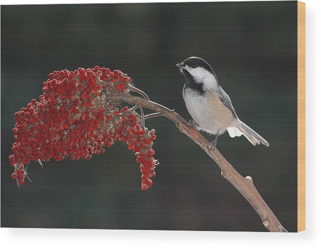 Birds Wood Print featuring the photograph Black-capped Chickadee by Raju Alagawadi