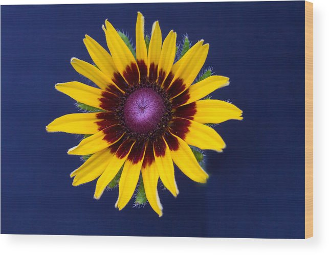 Flower Wood Print featuring the photograph Black Eyed Susan by J Darrell Hutto