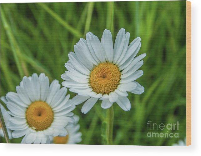 Flower Wood Print featuring the photograph Black-headed Daisy's by Tony Baca