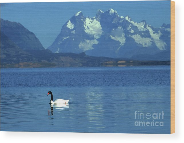 Chile Wood Print featuring the photograph Black Necked Swan On Last Hope Sound Chile by James Brunker