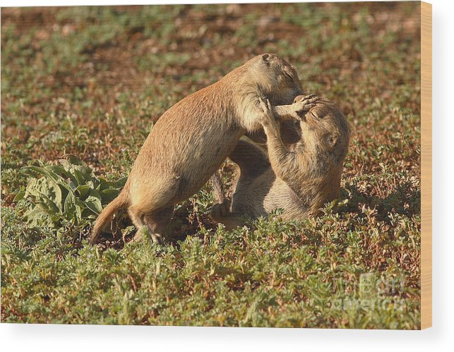 Prairie Dog Wood Print featuring the photograph Black-tailed Prairie Dogs Wrestling Around by Max Allen