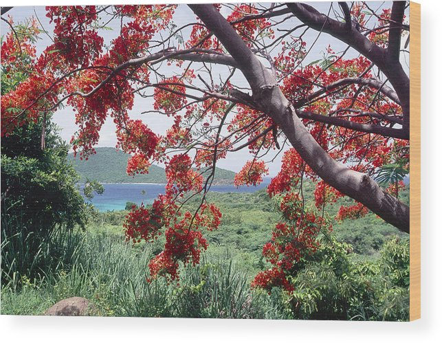Beach Wood Print featuring the photograph Blooming Flamboyan Tree Tamarindo Bay Culebra Island Puerto Rico by George Oze