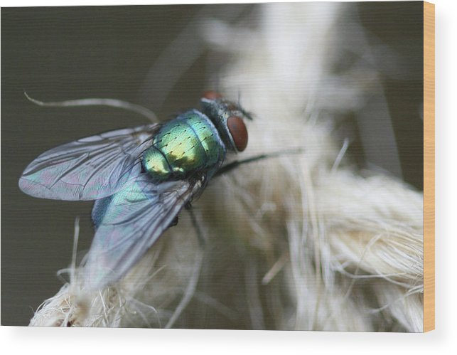 Blue Bottle Fly Wood Print featuring the photograph Blue Bottle Fly On Garden Twine by Bonnie Boden