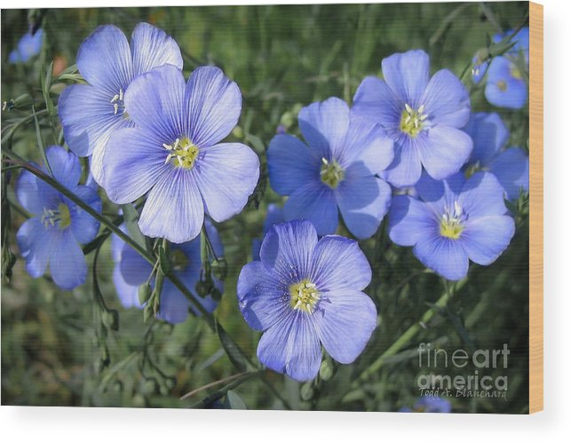 Flowers Wood Print featuring the photograph Blue Flowers In The Sun by Todd Blanchard
