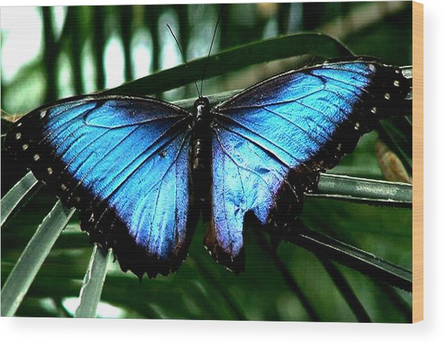 Blue Butterfly Morphm Animal Fly Flying Wood Print featuring the photograph Blue Morph by Diane Wallace