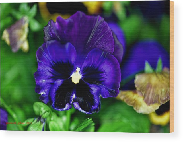 Wood Print featuring the photograph Blue Pansy Flower by Zohar Gavrieal