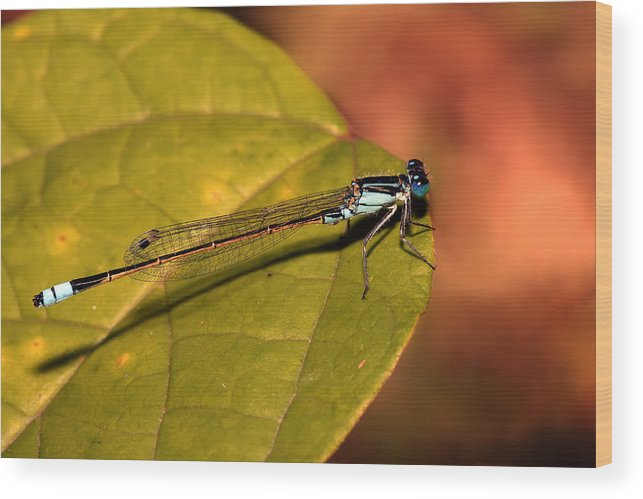 Wood Print featuring the photograph Bluetail At Sunset by Lesley Smitheringale