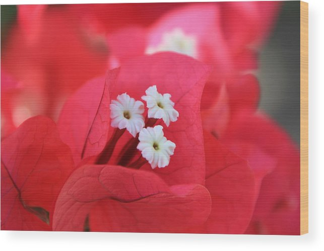 Flower Wood Print featuring the photograph Bougainvilleas And White by Edward R Wisell
