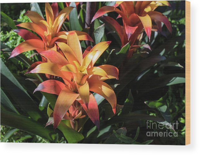 Succulent Wood Print featuring the photograph Bromeliads by Judy Wolinsky