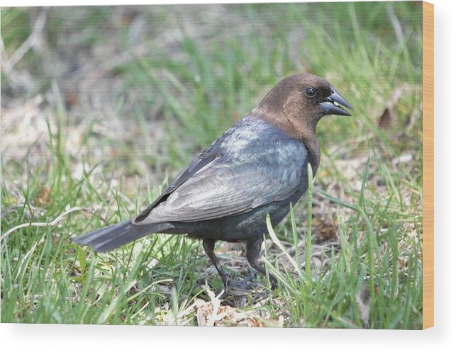 Animal Wood Print featuring the photograph Brown-headed Cowbird 2 by Bonfire Photography