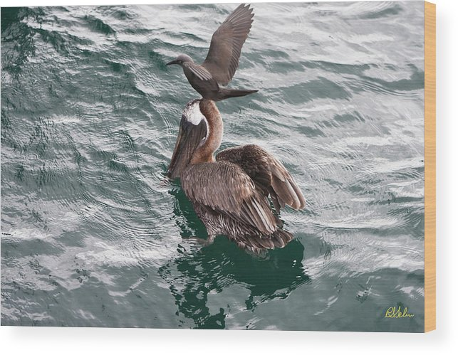 Brown Pelican Wood Print featuring the photograph Brown Noddy Atop Pelican Scouts Dinner by Robert Selin