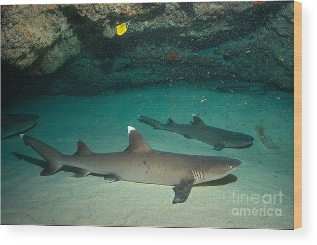White Tip Reef Shark Wood Print featuring the photograph Buddha Point by Aaron Whittemore