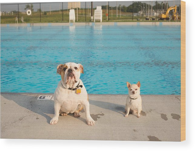 Animal Wood Print featuring the photograph Bulldog And Chihuahua By The Pool by Gillham Studios