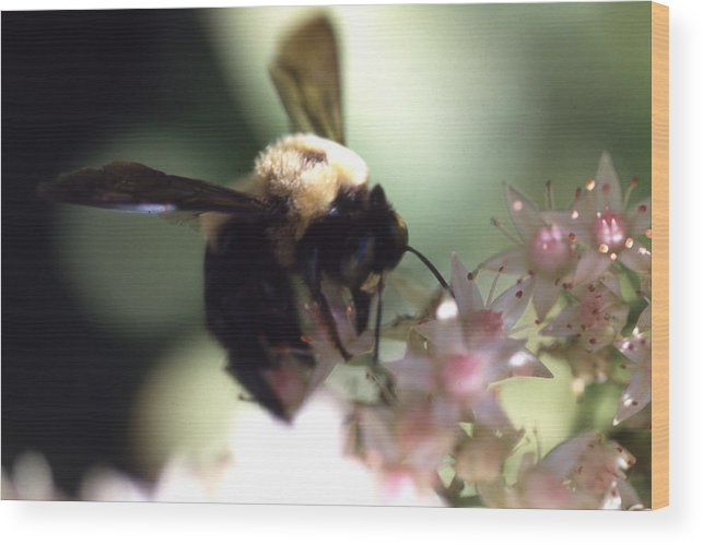 Wood Print featuring the photograph Bumblbee Bzzz by Curtis J Neeley Jr
