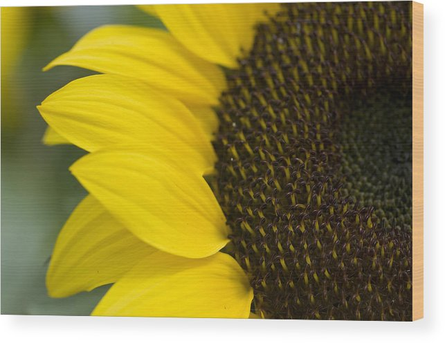 Sunflower Wood Print featuring the photograph Burst Of Yellow by Peter Olsen