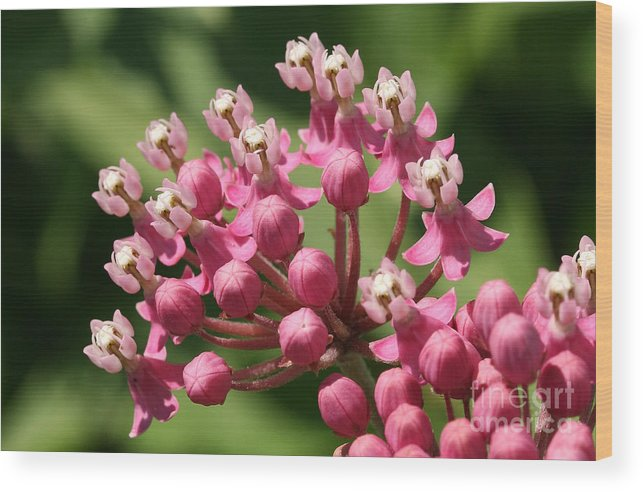 Flower Wood Print featuring the photograph Butterfly Weed by Steve Augustin