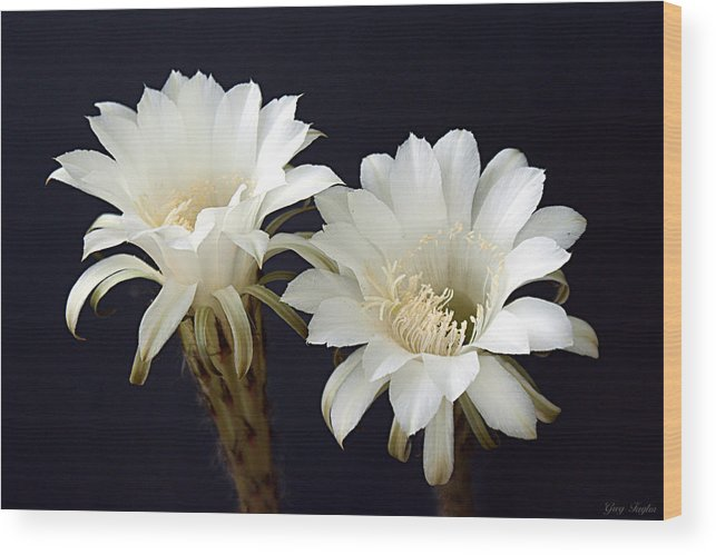 White Wood Print featuring the photograph Cactus Bloom Duo by Greg Taylor