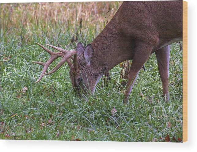 Deer Photography Wood Print featuring the photograph Cades Cove Buck by Mel Hensley