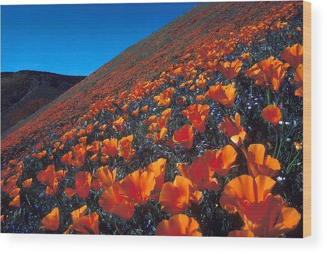 Poppy Wood Print featuring the photograph California Poppies Quartz Hill by Brian Lockett