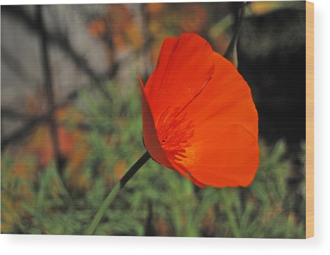 Poppy Wood Print featuring the photograph California Poppy by Jean Booth
