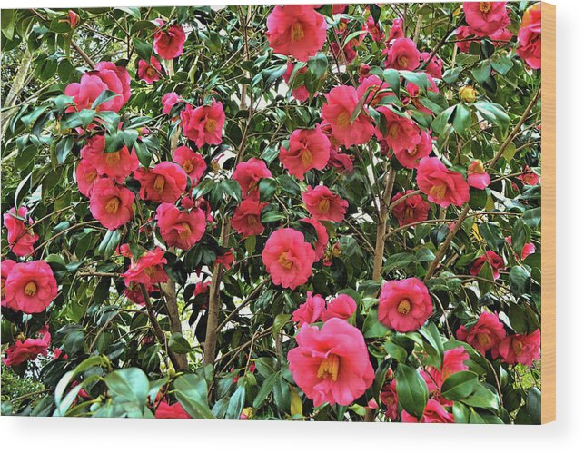 Isabela Cocoli Wood Print featuring the photograph Camellia by Isabela and Skender Cocoli