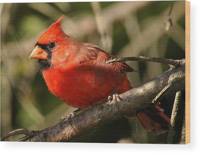 Cardinal Wood Print featuring the photograph Cardinal Up Close by Alan Lenk