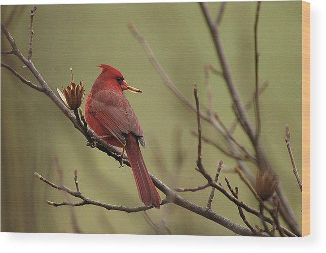 Cardinal Wood Print featuring the photograph Cardinal With Seed by Alan Lenk