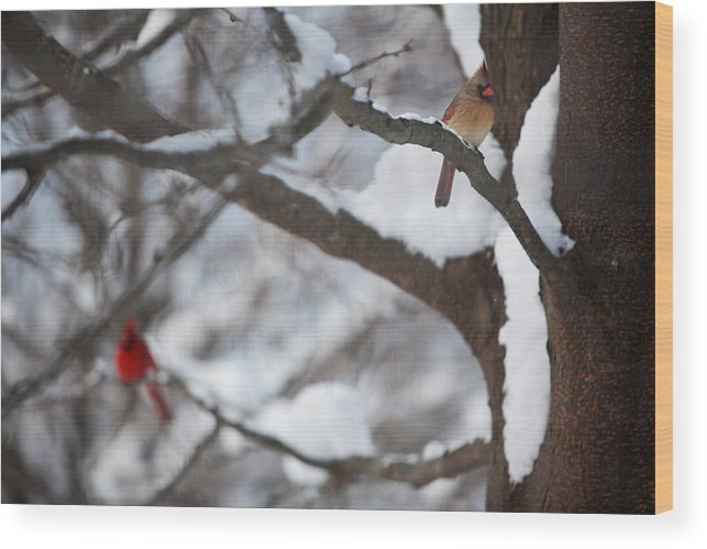 Nature Wood Print featuring the photograph Cardinals by Jane Melgaard