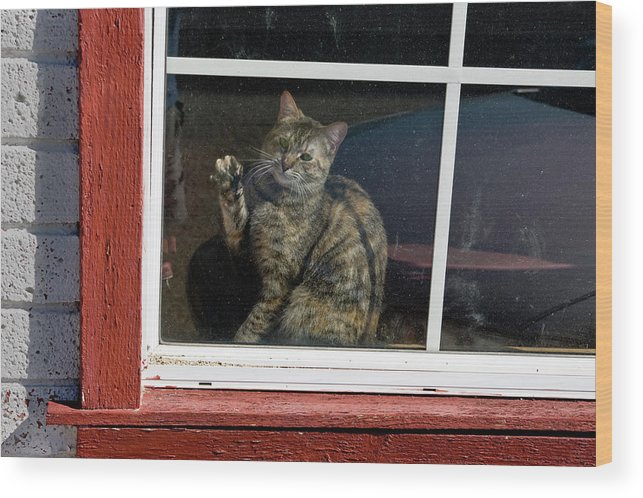 Cat Wood Print featuring the photograph Cat In The Red Window by Joe Palermo