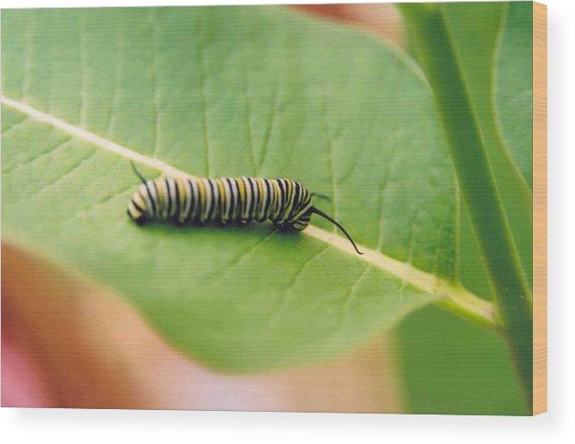 Caterpillar Wood Print featuring the photograph Caterpillar by Kathy Schumann