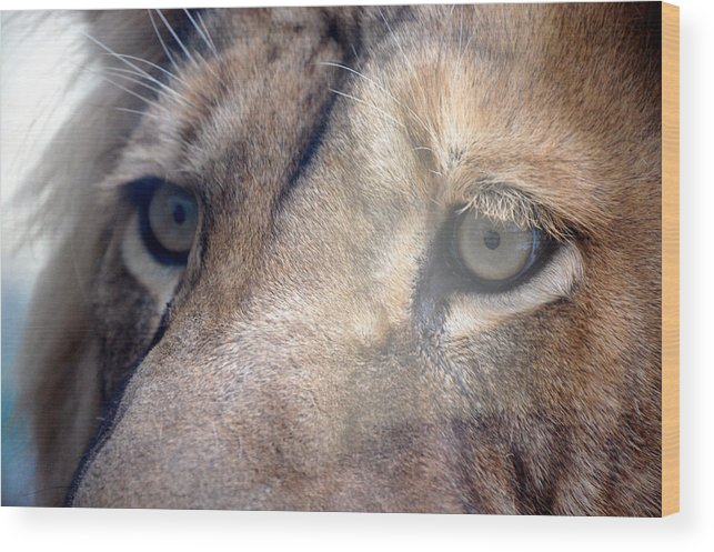 Lion Wood Print featuring the photograph Cats Eyes by Lisa Kane