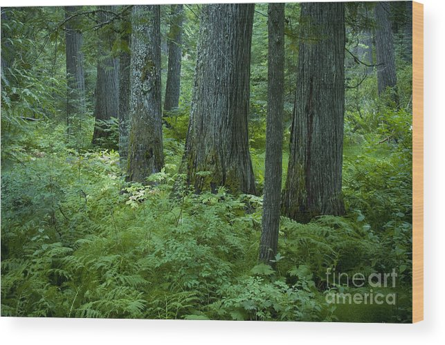 Grove Wood Print featuring the photograph Cedar Grove by Idaho Scenic Images Linda Lantzy