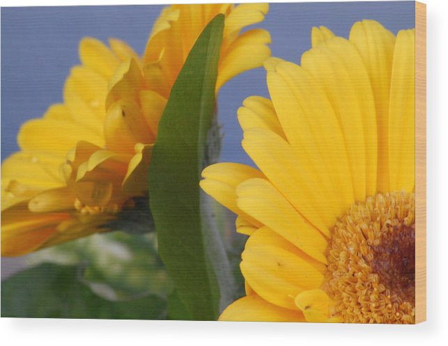 Gerbera Daisy Wood Print featuring the photograph Cheerful Gerbera Daisies by Amy Fose