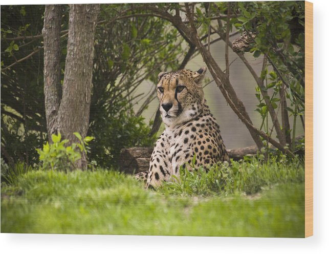 Chad Davis Wood Print featuring the photograph Cheetah Of The Hill by Chad Davis