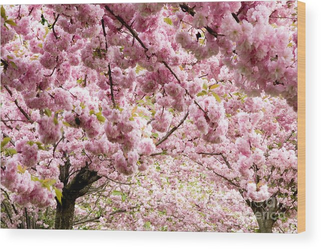 Landscape Wood Print featuring the photograph Cherry Blossoms In Milan Italy by Julia Hiebaum