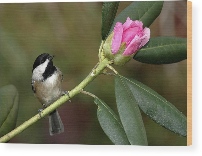 Bird Wood Print featuring the photograph Chickadee By Rhododendron Bud by Alan Lenk