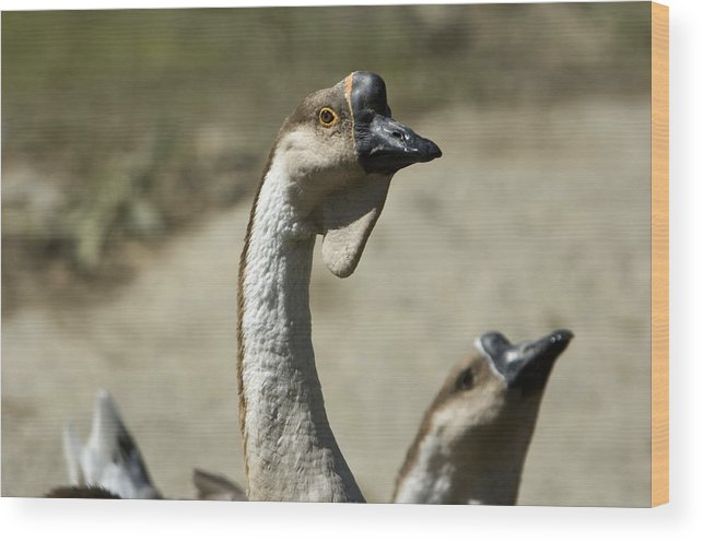 Photography Wood Print featuring the photograph Chinese Geese Anser Cygnoides At Zoo by Joel Sartore