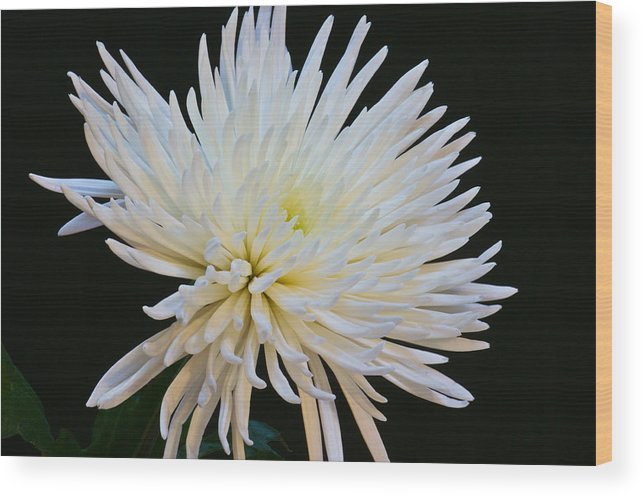 Botanical Wood Print featuring the photograph Chrisanthium On Black 2 by Edward Myers