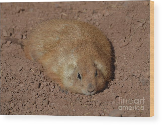 Fat Wood Print featuring the photograph Chubby Prairie Dog Resting In A Shallow Hole by DejaVu Designs