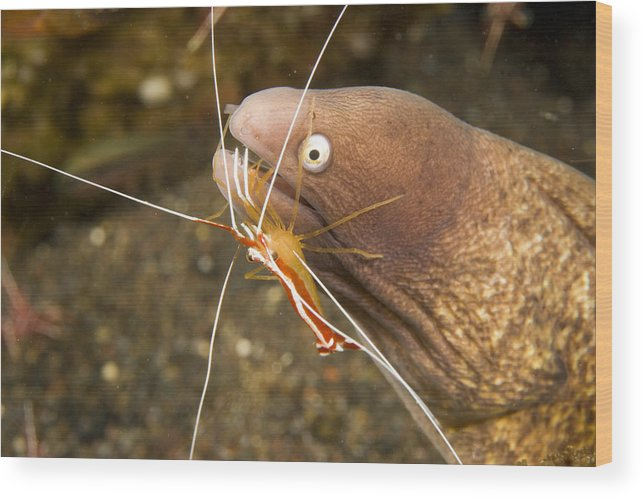 Cleaner Shrimp Wood Print featuring the photograph Cleaner Shirmp Cleans Parasites by Tim Laman