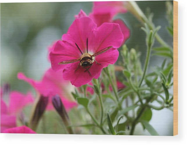 Clearwing Hummingbird Moth Wood Print featuring the photograph Clearwing Hummingbird Moth At Work In Patch Of Petunias by Bonnie Boden