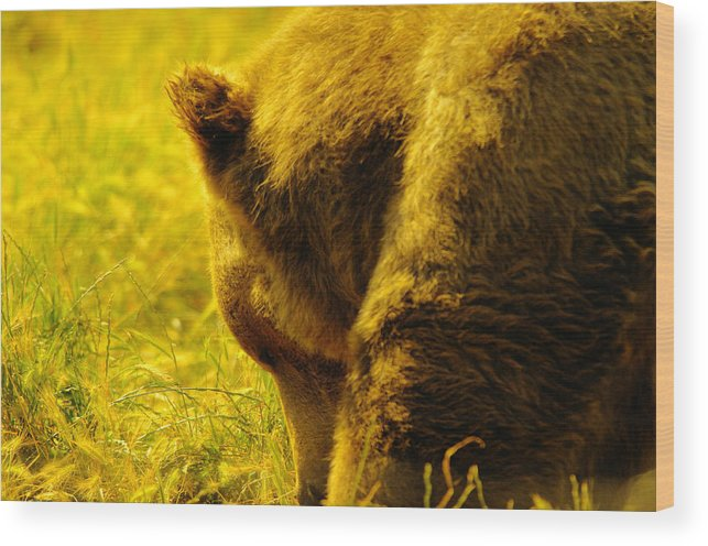 Bear Wood Print featuring the photograph Close Up Of A Grizzily by Jeff Swan