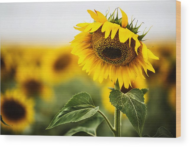 Agriculture Wood Print featuring the photograph Close Up Single Sunflower In South Dakota by Carol Mellema