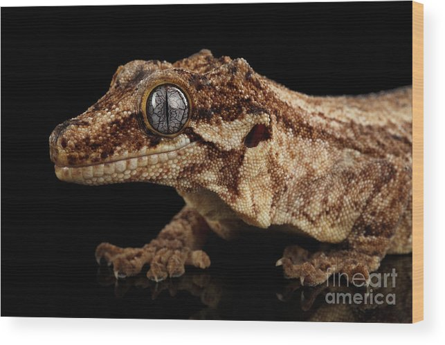 Reptile Wood Print featuring the photograph Closeup Gargoyle Gecko 82df0fbe8