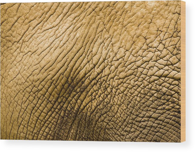 One Animal Wood Print featuring the photograph Closeup Of An African Elephant by Tim Laman