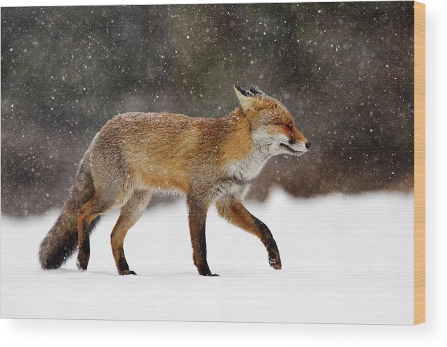 Red Fox Wood Print featuring the photograph Cold As Ice - Red Fox In A Snow Blizzard by Roeselien Raimond