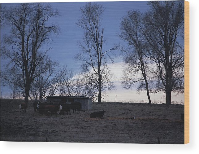 Cows Wood Print featuring the photograph Cold Iowa Evening by Jame Hayes