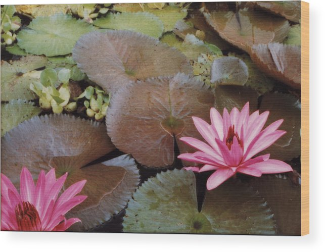 Lillies Colombia Flower Pink Water Green Wood Print featuring the photograph Colombian Pink Lillies by Lawrence Costales