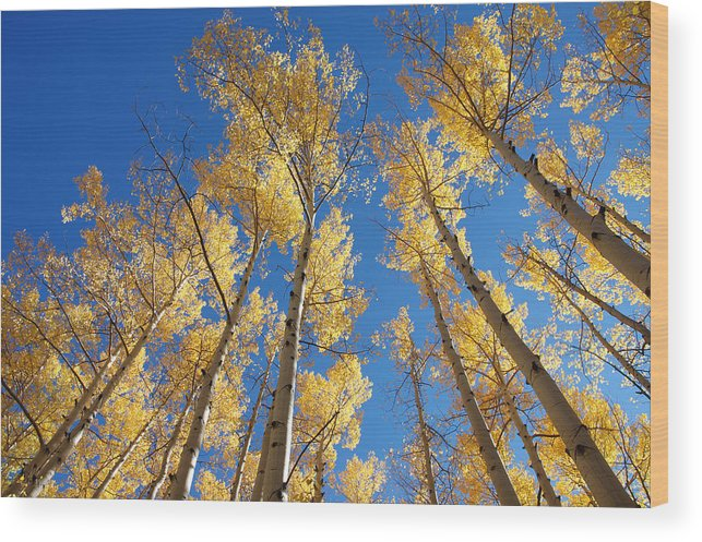 Aspen Wood Print featuring the photograph Colorado Aspen by Jerry McElroy