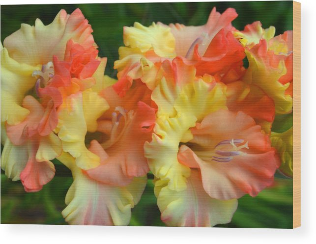 Gladiolas Wood Print featuring the photograph Colors Of August by Dianne Cowen